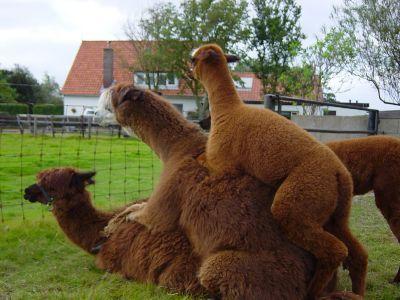 alpaca123.jpg