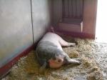 How do you tell a female pig...